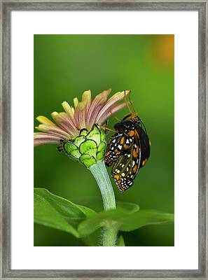 Baltimore Checkered Spot Butterfly Framed Print