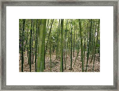 Bamboo Phyllostachys Sp Framed Print by Johnny Greig