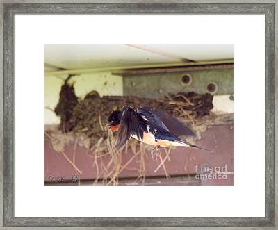 Barn Swallows Constructing Their Nest Framed Print by J McCombie