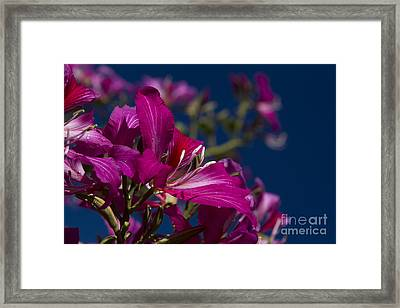 Bauhinia Purpurea - Hawaiian Orchid Tree Framed Print