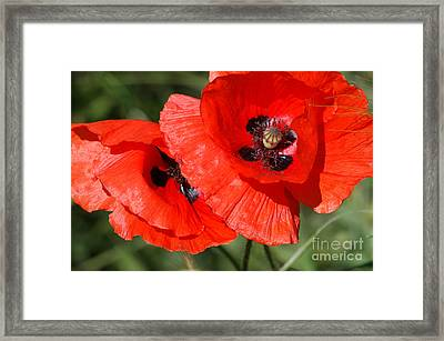 Beautiful Poppies 2 Framed Print by Carol Lynch