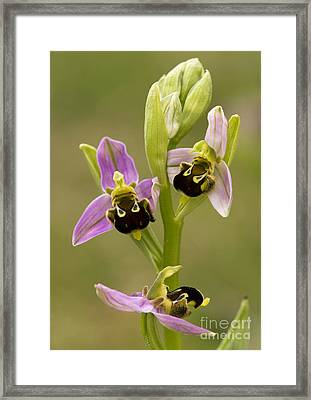 Bee Orchid Ophrys Apifera Framed Print