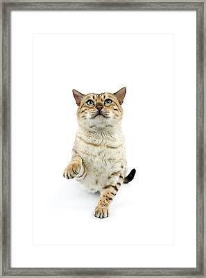 Bengal Seal Mink Tabby Framed Print by Gerard Lacz