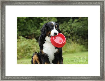 Bernese Mountain Dog Framed Print by John Daniels