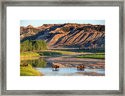 Bison Crossing The Little Missouri Framed Print by Chuck Haney