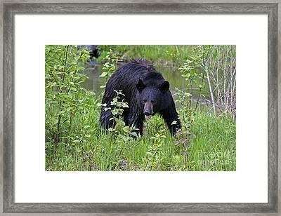 Black Bear Framed Print by Linda Freshwaters Arndt