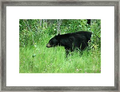 551p Black Bear Framed Print