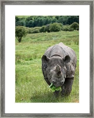 Black Rhinoceros Diceros Bicornis Michaeli In Captivity Framed Print by Matthew Gibson