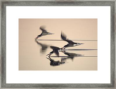 Framed Print featuring the photograph 3 Black Skimmers  382z3059 by David Orias