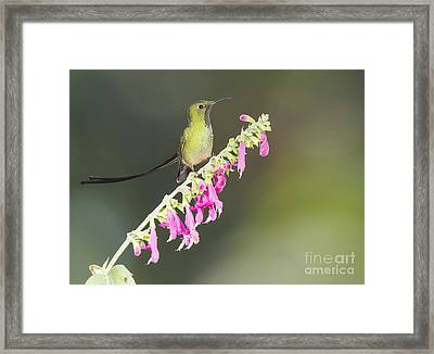 Black-tailed Train Bearer Hummingbird Framed Print by Dan Suzio