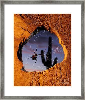 Black Widow Spider Framed Print by Scott Linstead