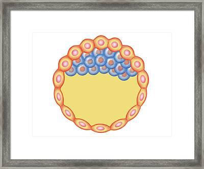 Blastocyst Formation Framed Print