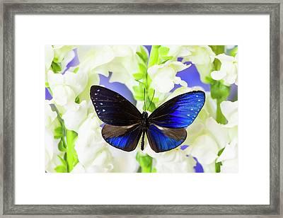 Blue Crow Butterfly, Euphoea Mulciber Framed Print by Darrell Gulin