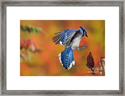 Blue Jay Framed Print by Scott Linstead
