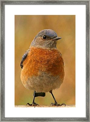 Bluebird Framed Print by Jean Noren