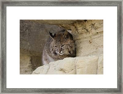 Bobcat  Felis Rufus Framed Print by Carol Gregory
