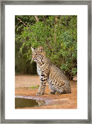 Bobcat (lynx Rufus Framed Print
