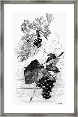 Botany Grapes Framed Print by Granger