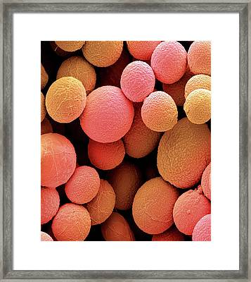 Bread Mould Conidia Framed Print by Steve Gschmeissner