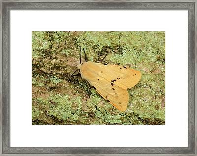 Buff Ermine Moth Framed Print