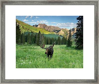 Bull Moose (alces Alces Framed Print