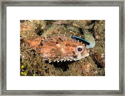 Burrfish And Cleaner Goby Framed Print by Andrew J. Martinez