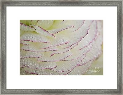 Buttercup Flower With Dew Framed Print