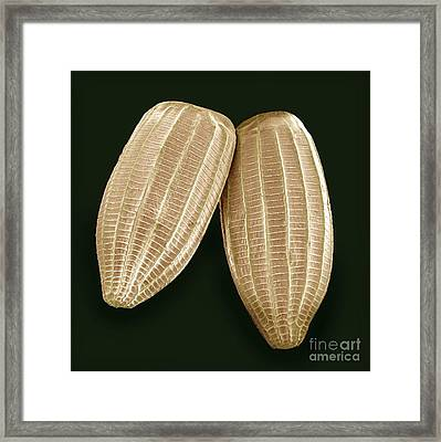 Cabbage White Butterfly Eggs, Sem Framed Print by Steve Gschmeissner