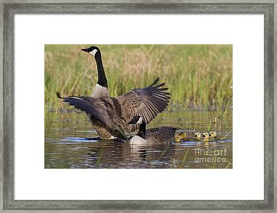 Canada Geese And Goslings Framed Print