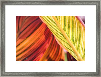 Canna Lily Named Durban Framed Print by J McCombie