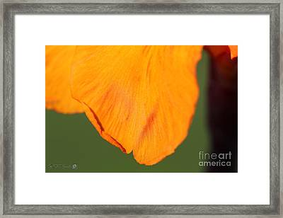 Canna Lily Named Wyoming Framed Print by J McCombie