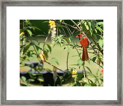 Cardinal Framed Print by Bill Wakeley