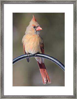 Cardinal Framed Print by John Kunze