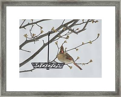 Cardinals Framed Print by Kimberly Danner