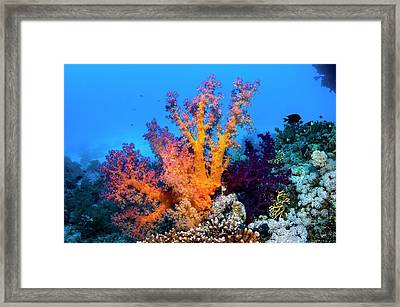 Carnation Coral Framed Print by Georgette Douwma