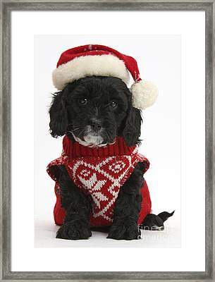 Cavapoo Puppy In Christmas Hat Framed Print by Mark Taylor