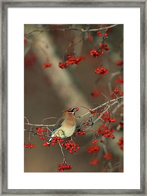 Cedar Waxwing (bombycilla Cedrorum Framed Print by Richard and Susan Day