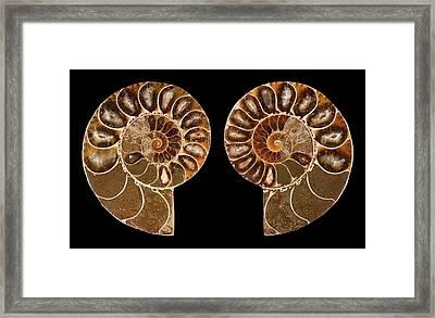 Ceratites Ammonite Fossil Framed Print