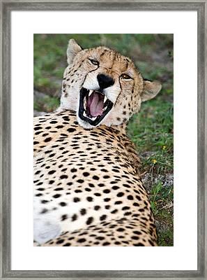 Cheetah Acinonyx Jubatus Resting Framed Print by Panoramic Images