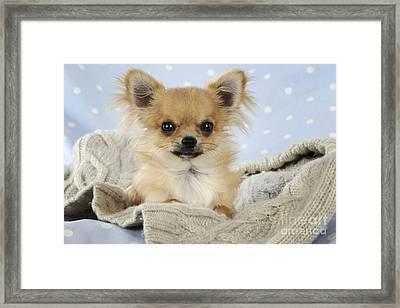 Chihuahua Dog Framed Print by John Daniels