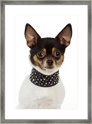 Chihuahua Framed Print by John Daniels