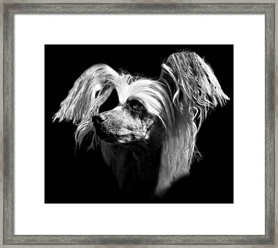 Chinese Crested Hairless Framed Print by Diana Angstadt