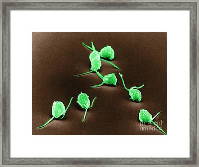 Chlamydomonas, Sem Framed Print