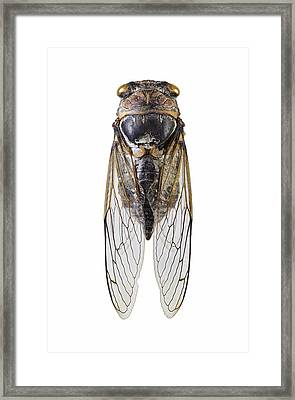 Cicada Framed Print by Science Photo Library