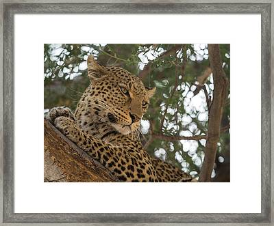 Close-up Of A Leopard Panthera Pardus Framed Print by Panoramic Images