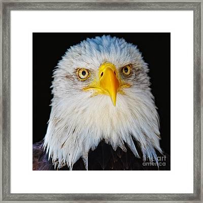Closeup Portrait Of An American Bald Eagle Framed Print