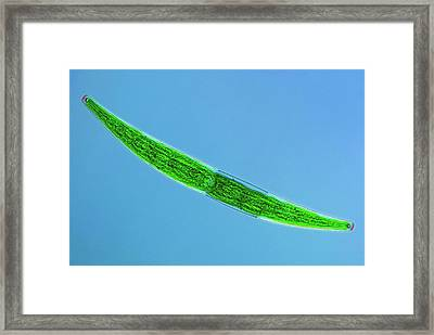 Closterium Desmid Framed Print
