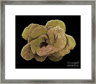 Coccoliths, Sem Framed Print by Steve Gschmeissner