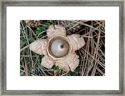 Collared Earthstar Framed Print