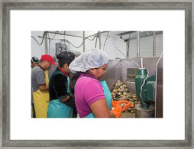 Commercial Oyster Processing Framed Print by Jim West